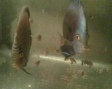 Cara Beternak Ikan Discus dan Memelihara Anakannya