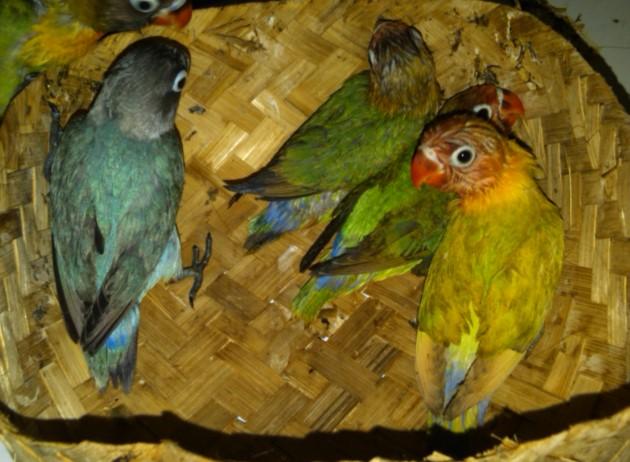 Cara Beternak dan photo Pertumbuhan burung Lovebird dari Anakan hingga Dewasa