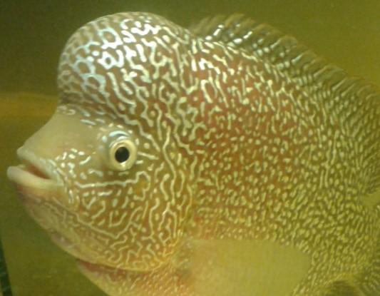 Pakan ikan Louhan biar cepat jenong dan cepat besar
