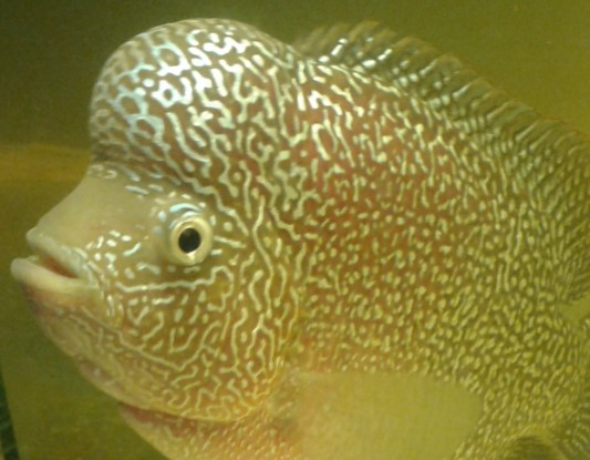 Ciri Ciri Ikan Louhan Cencu Klasik Dan Modern