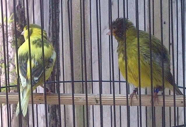 Cara beternak dan memilih calon indukan burung kenari agar menghasilkan anakan yang sehat