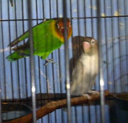 Cara Menjodohkan Lovebird Dewasa Beda Umur Agar Cepat Bertelur