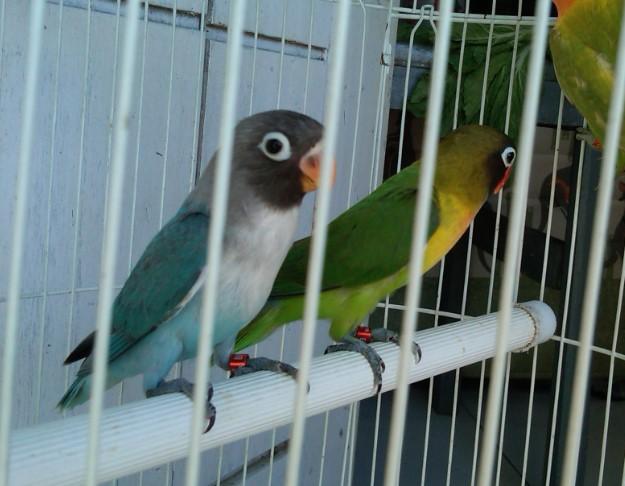 Harga Jual Burung Lovebird dan perkembangannya di Daerah Bogor