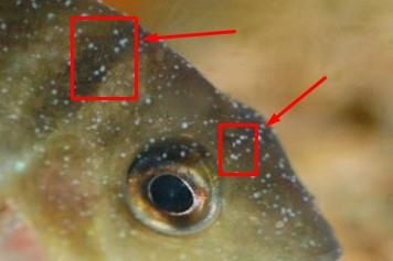 Cara mengobati white spot pada ikan khususnya ikan louhan cepat dan manjur