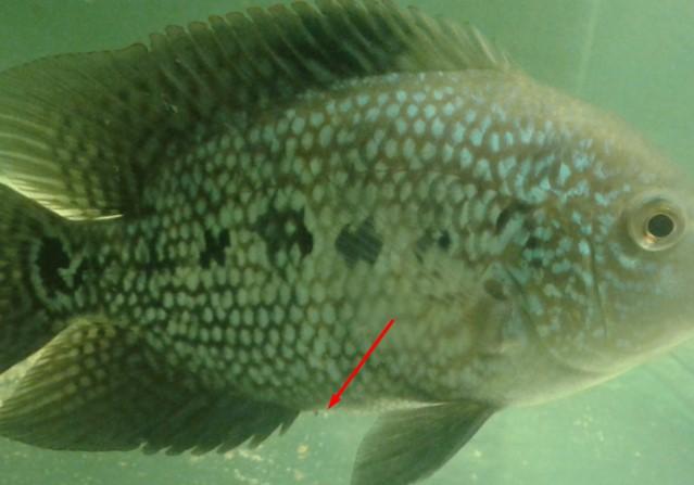 Cara membedakan ikan Louhan jantan dan betina dengan mudah dan akurat