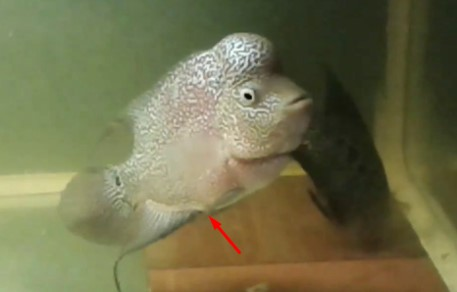 Cara memilih anakan ikan louhan yang bagus dan berkualitas